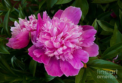 Powderpuff Peony Original by Lena Auxier