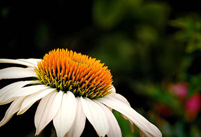 Photograph - Powwow White Coneflower by Gary Smith