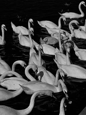 Photograph - Prague Swans by Steven Richman