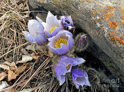 Art Print featuring the photograph Praire Crocus by Gerry Bates