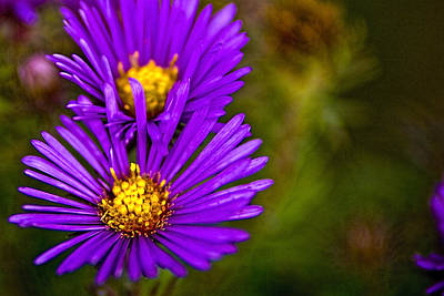 Photograph - Prairie Aster  by Roger Passman