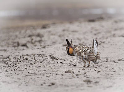 Prairie Chicken 2013-1  Art Print