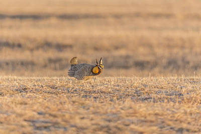Prairie Chicken 2013-11 Art Print by Thomas Young