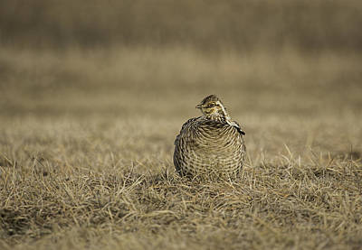 Prairie Chicken 2013-5 Art Print by Thomas Young