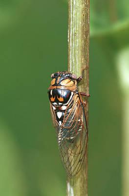 Cicada Photograph - Prairie Cicada (tibicen Dorsata by Richard and Susan Day