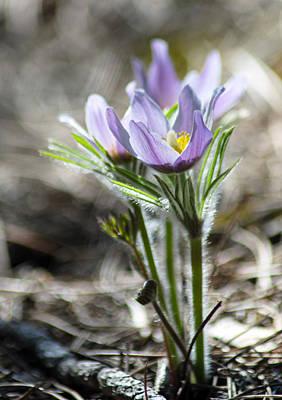 Photograph - Prairie Crocus by Dakota Light Photography By Dakota