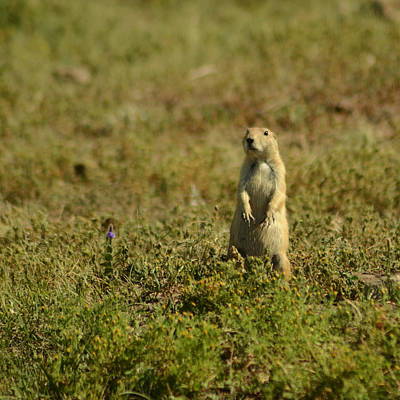 Photograph - Prairie Dog Alert by Dakota Light Photography By Dakota