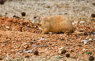 Digital Art - Prairie Dog At Edge Of Den  by Chris Flees
