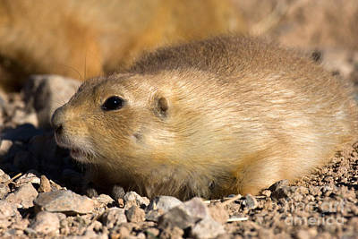 Photograph - Prairie Dog Chillin by Chris Scroggins