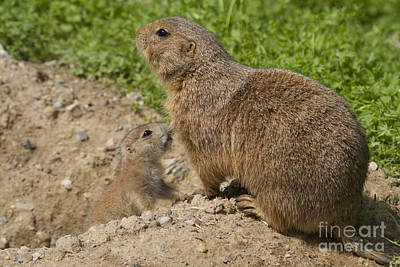 Photograph - Prairie Dog Family by Chris Scroggins