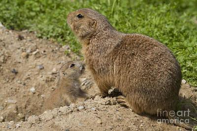 Photograph - Prairie Dog Family by Chris Scroggins