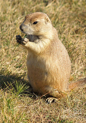 Prairie Dogs Photograph - Prairie Dog Feeding On The Meadows At The Devil's Tower by Alex Cassels