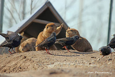 Starlings Digital Art - Prairie Dogs High Five by Jake Danishevsky