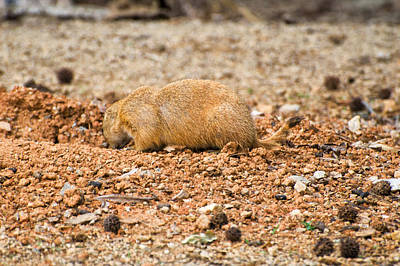 Digital Art - Prairie Dog Into by Chris Flees