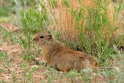 Photograph - Prairie Dog by Marilyn Burton