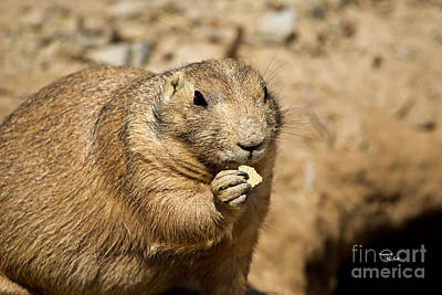 Photograph - Prairie Dog by Ms Judi
