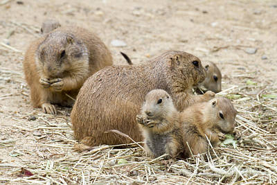 Photograph - Prairie Dog Picnic by Chris Scroggins