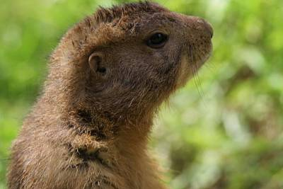 Squirrel Photograph - Prairie Dog Portrait by Dan Sproul