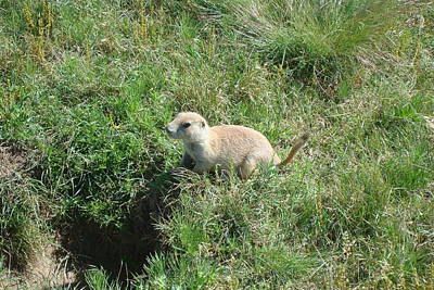 Photograph - Prairie Dog by Susan Woodward