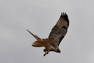 Photograph - Prairie Falcon by Marilyn Burton