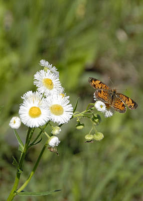 Photograph - Prairie Fleabane Wildflower by Charles Beeler