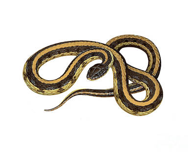 Garter Snake Photograph - Prairie Garter Snake by Carlyn Iverson