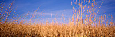 Prairie Grass, Blue Sky, Marion County Art Print by Panoramic Images