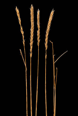Dried Photograph - Prairie Grass Number 2 by Steve Gadomski