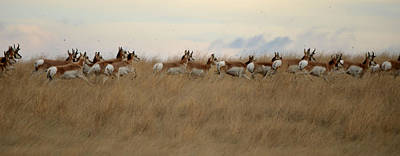 Prairie Pronghorns Art Print