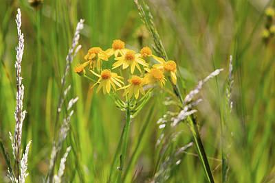 Golden Ragwort Photograph - Prairie Ragwort by Gary Hall