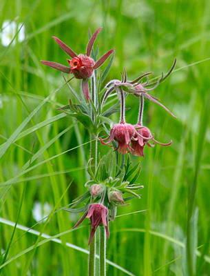 Rosaceae Photograph - Prairie Smoke Three Flowered Avens by Karon Melillo DeVega
