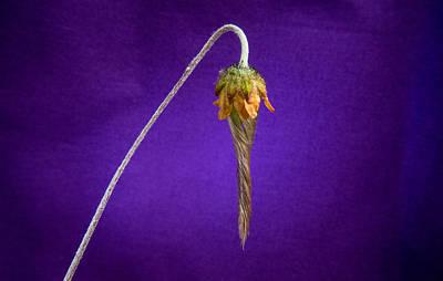 Prairie Style Photograph - Prairie Smoke Tightly Twirled Blossom by Douglas Barnett