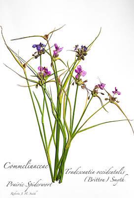 Photograph - Prairie Spiderwort by Roberta Jean Smith