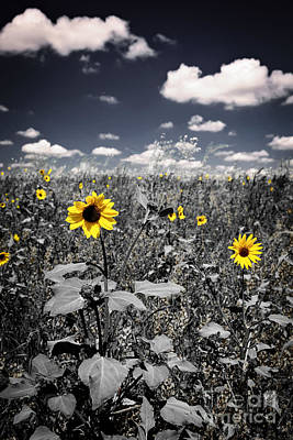 Uncultivated Photograph - Prairie Sunflowers  by Elena Elisseeva