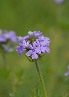 Photograph - Prairie Verbena Wildflower by Charles Beeler