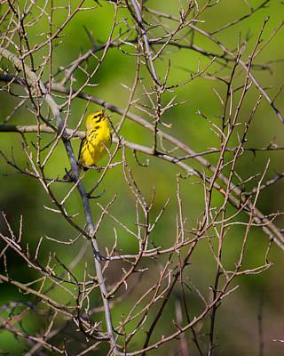 Warbler Photograph - Prairie Warbler by Bill Wakeley