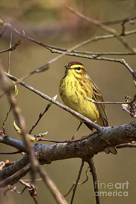 Photograph - Palm Warbler by Ronald Lutz