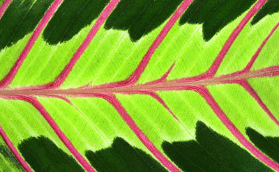 Striking Photograph - Prayer Plant Leaf Abstract by Nigel Downer