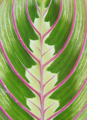 Photograph - prayer plant Maranta leucoreura by Karen Rispin