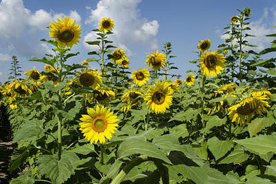 Sunflower Photograph - Prayers For Maria by Ann Bridges