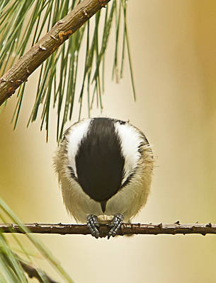 Photograph - Praying Chickadee by John Vose