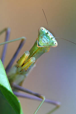 Robert Jensen Photograph - Praying Mantid by Robert Jensen
