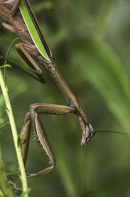 Photograph - Praying Mantis 002 by Donald Brown