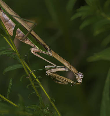 Photograph - Praying Mantis 003 by Donald Brown