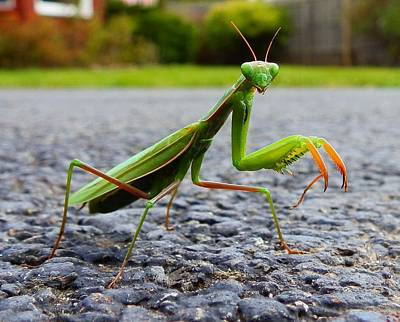 Photograph - Praying Mantis by Carolyn Cable