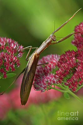 Praying Mantis Climbing Up Sedium Flower Art Print by Inspired Nature Photography Fine Art Photography