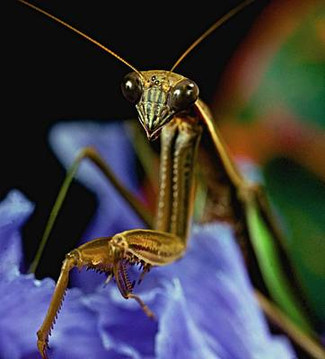 Canibal Photograph - Praying Mantis  Closeup Portrait 3  On Iris Flower by Leslie Crotty