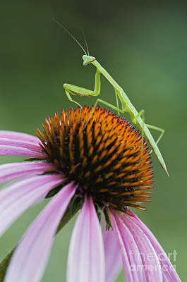 Photograph - Praying Mantis - D008022 by Daniel Dempster
