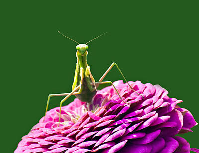 Zinna Photograph - Praying Mantis by David Simons