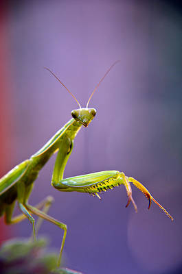 Photograph - Praying Mantis  by Eric Rundle